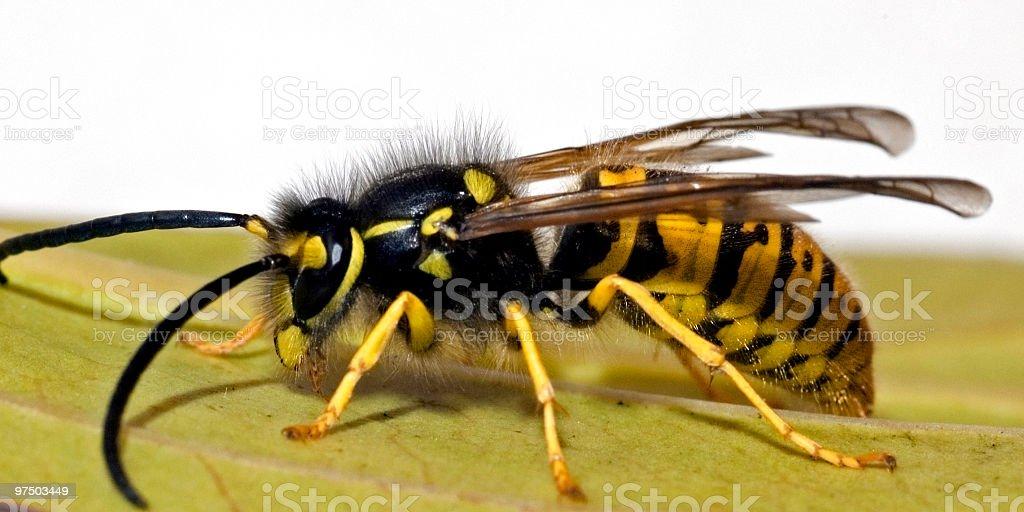 wasp close up royalty-free stock photo