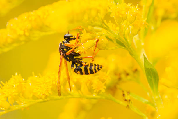 Wasp close-up on yellow blossom. stock photo