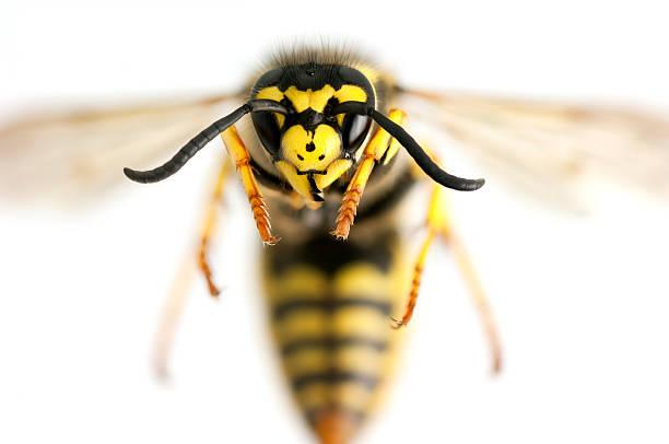 wasp closeup - stekels stockfoto's en -beelden