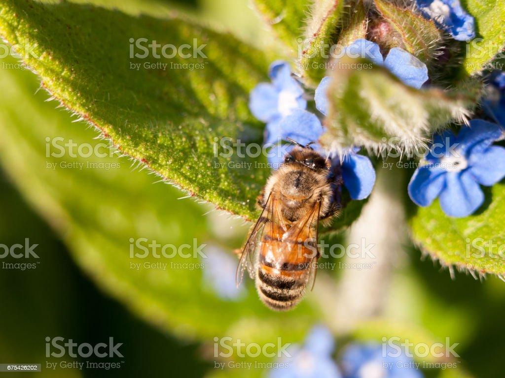 avispa que recoge polen fuera en el bosque en una planta - foto de stock