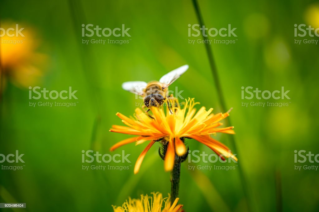 Wasp collects nectar from flower crepis alpina stock photo