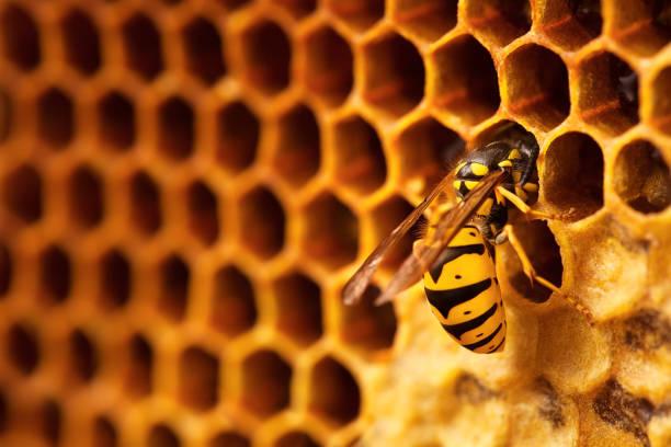comer mel em um favo de mel de vespa. - vespa comum - fotografias e filmes do acervo