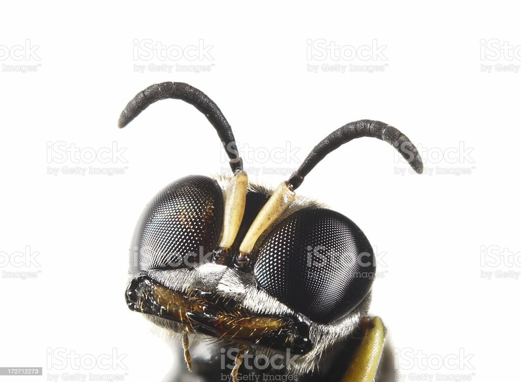 Wasp - Ectemnius sp stock photo