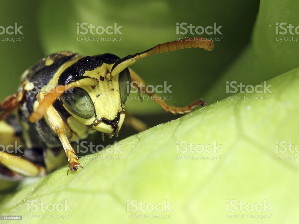 Wasp extreme closeup stock photo