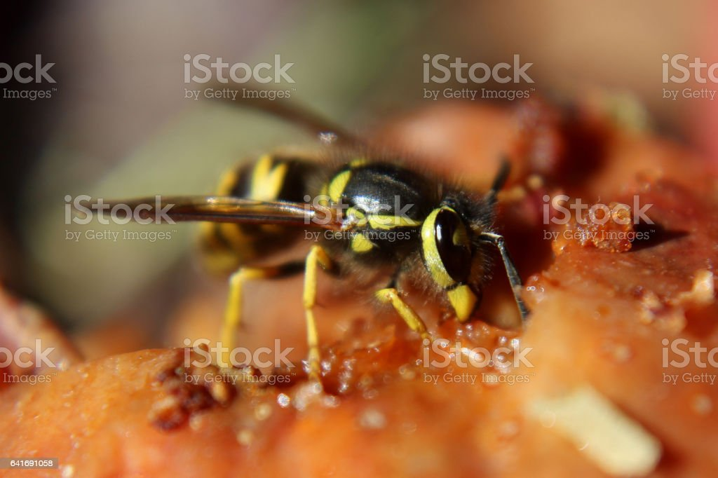 A Wasp Feasting on a Over Ripe Apple stock photo