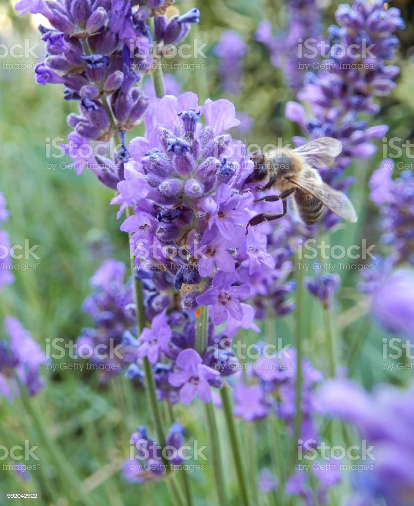 A wasp feeding on a lavender flower stock photo