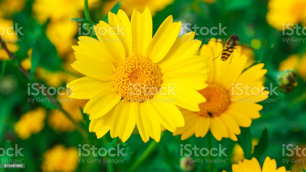 Wasp flying around big yellow daisy flowers in a sunny day. stock photo