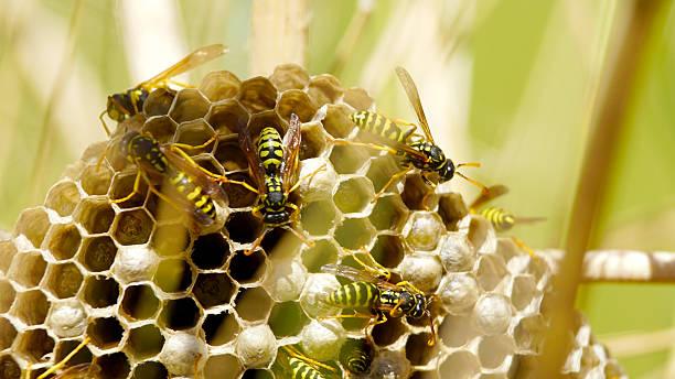 wasp hive between the grass - vespa comum - fotografias e filmes do acervo