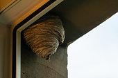Wasp hive hanging by the window in an urban area. Wild beehive outside on the building. Nobody