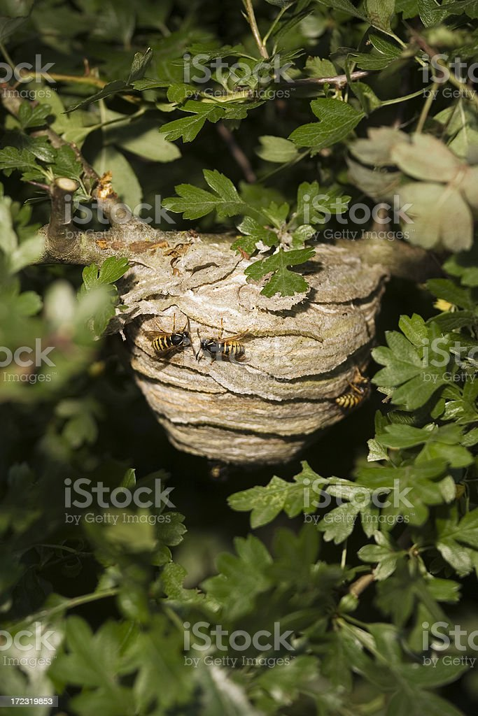 wasp hive royalty-free stock photo