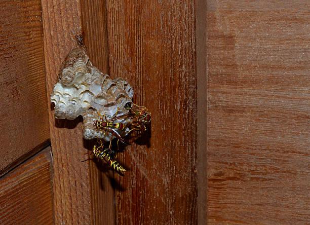 wespe, hornet gebäude hive eier und leg dich - wilde hilde stock-fotos und bilder