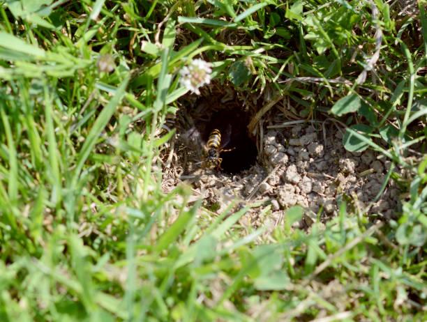 vespa que paira na entrada de seu ninho - vespa comum - fotografias e filmes do acervo