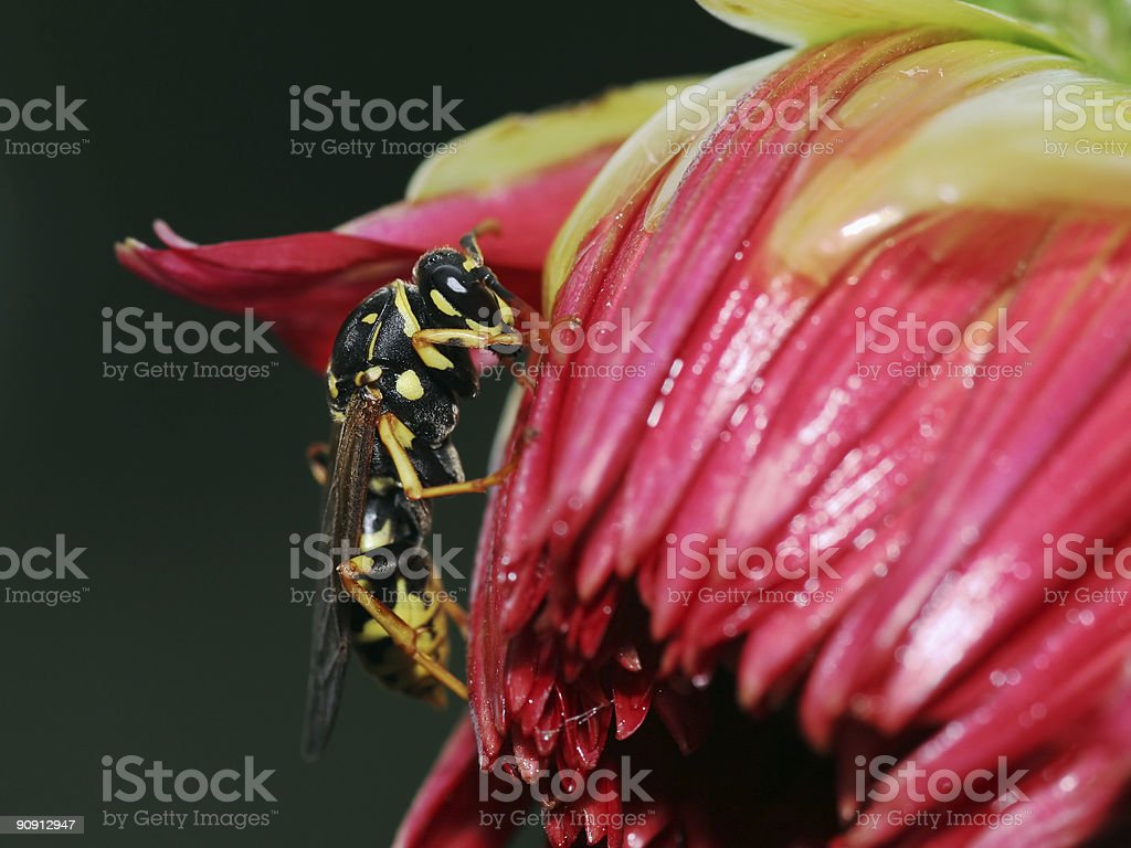 Wasp in a red dahlia stock photo