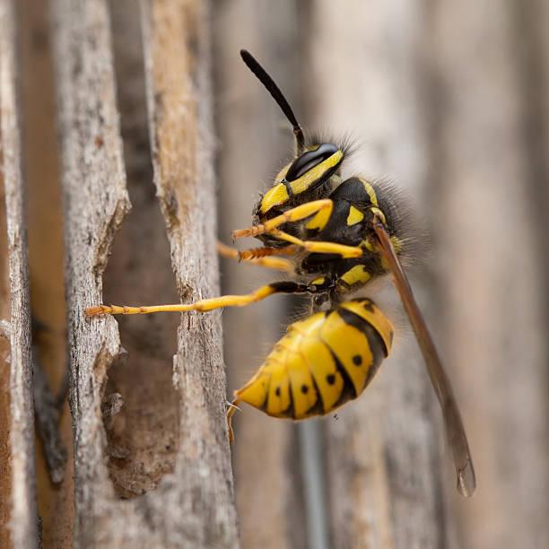 vespa no voo. - vespa comum - fotografias e filmes do acervo