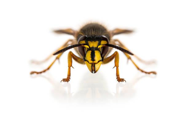vespa na frente de um fundo branco - vespa comum - fotografias e filmes do acervo