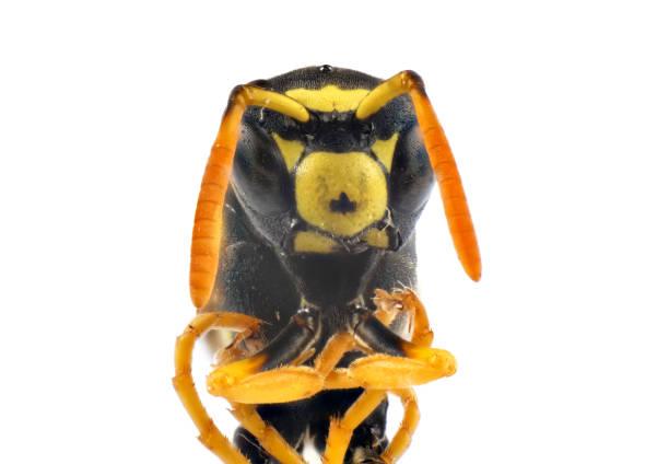 foto macro de insetos de vespa - vespa comum - fotografias e filmes do acervo