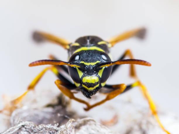insetos de vespa na macro de ninho - vespa comum - fotografias e filmes do acervo
