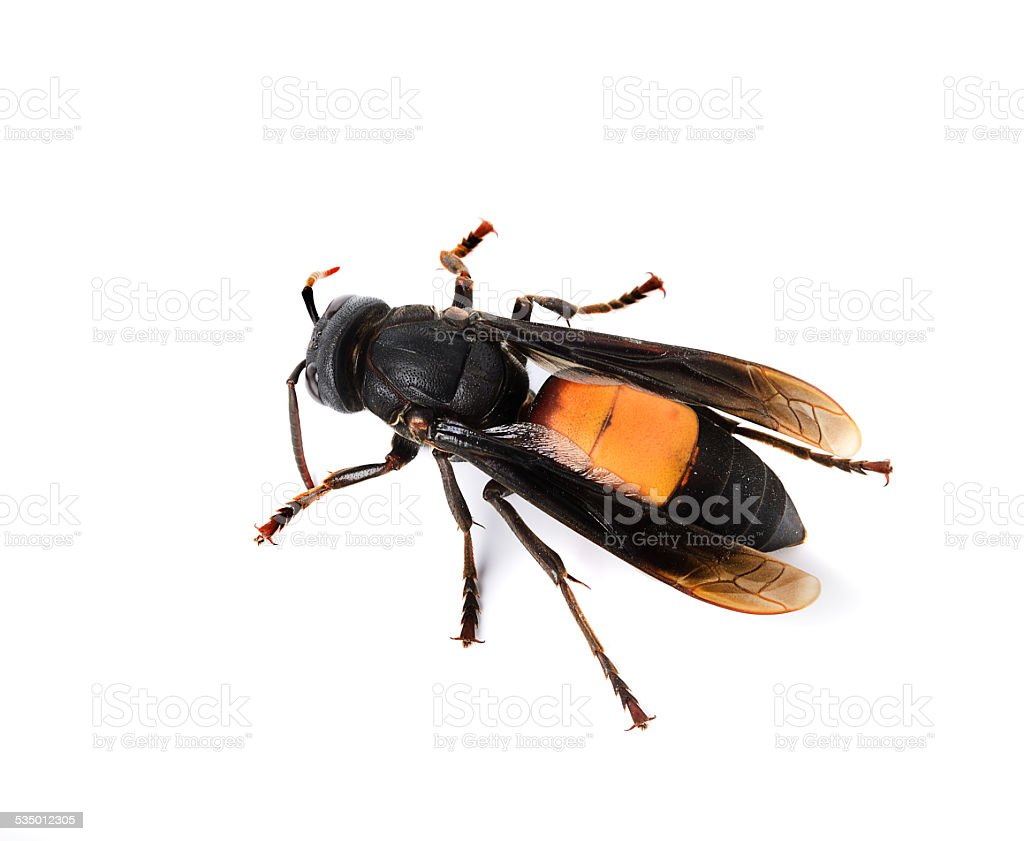Wasp isolated on white stock photo