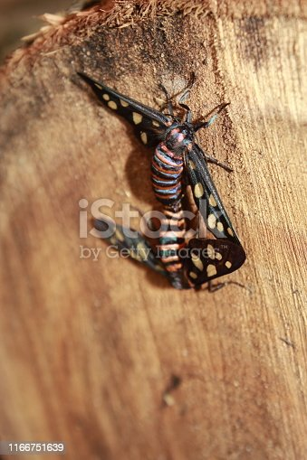 Wasp Moth from India ( Amata passalis or sandlewood defoliator) mating in nature.