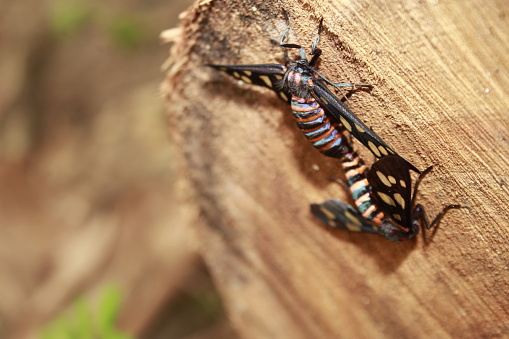 istock Wasp Moth from India ( Amata passalis or sandlewood defoliator) mating in nature. 1166753193