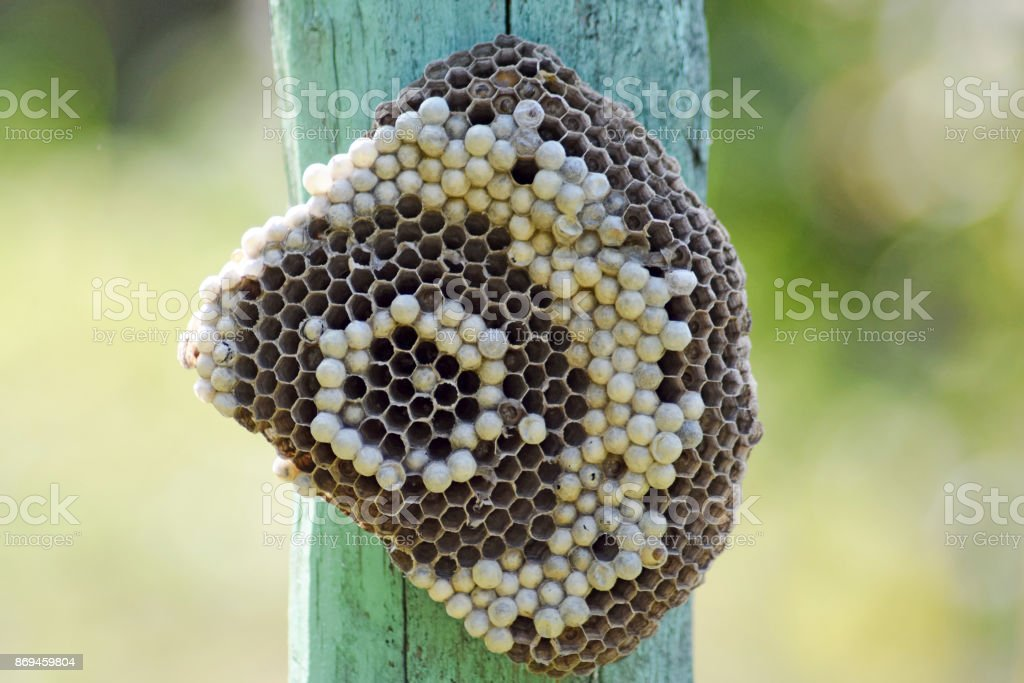 Wasp nest attached to a wooden board. stock photo