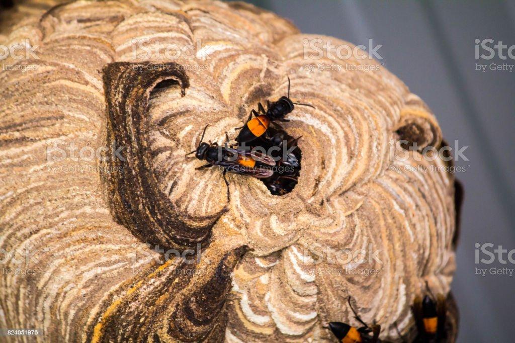 avispa nido creado para la vida. Y protección del embrión - foto de stock