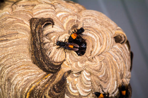 wasp nest created for living. and embryo protection - filigree stock photos and pictures