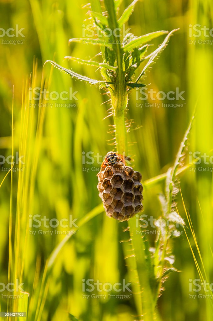 Wasp (European paper wasp, Polistes dominula) nest guarding stock photo