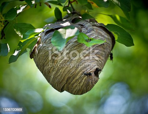 istock Wasp Nest Hanging from the tree 1336700869