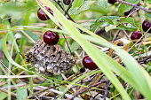 Wasp nest in the grass among the wild cherries. Wasp and Honeycomb of a wasp nest. Danger of bite and allergic shock.