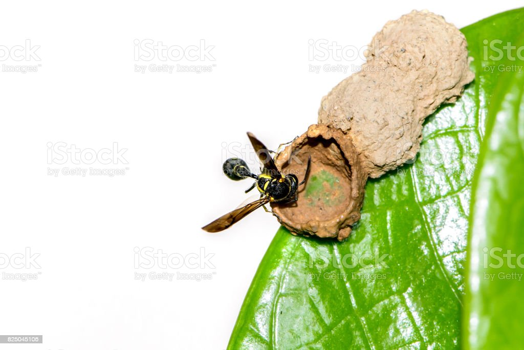 Wasp nest on a green leaf. stock photo
