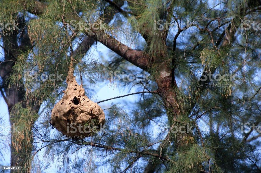 Avispa en el árbol de pino en el jardín - foto de stock