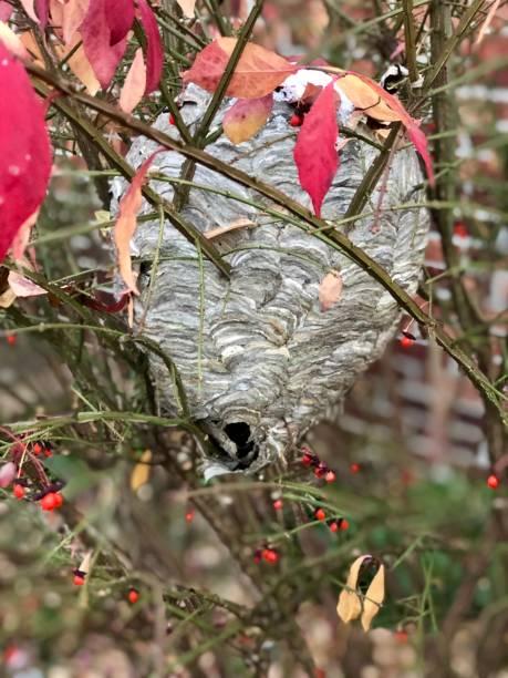 ninho de vespas - vespa comum - fotografias e filmes do acervo