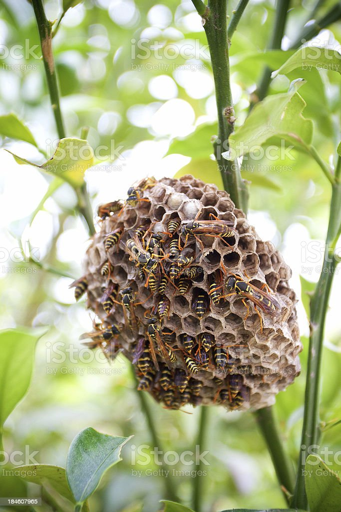 Wasp nest stock photo