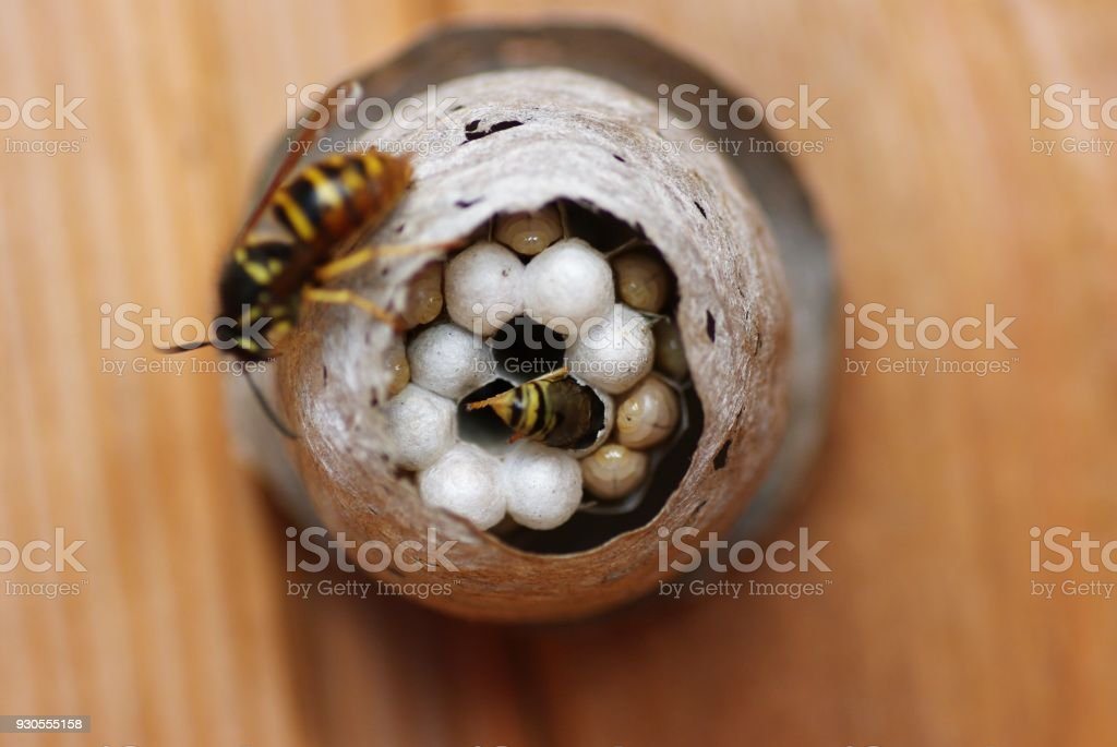 wasp nest stock photo more pictures of animal istock