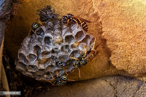 Wasp nest with the wasps sitting on it. Family nest of wasps, with a copy of the space close-up