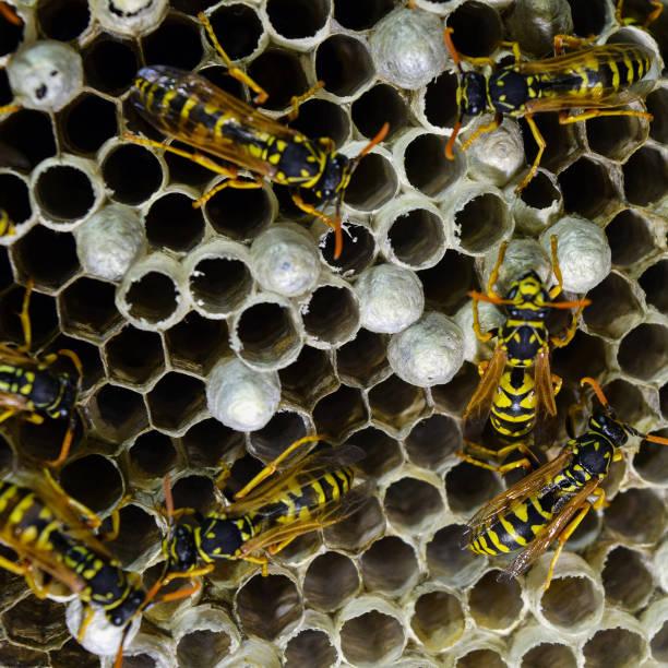 ninho de vespas com vespas sentado nele. - vespa comum - fotografias e filmes do acervo