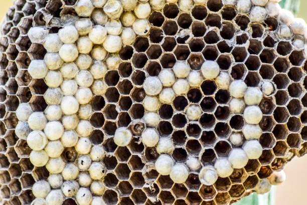 ninho de vespa com vespas sentado sobre. - vespa comum - fotografias e filmes do acervo