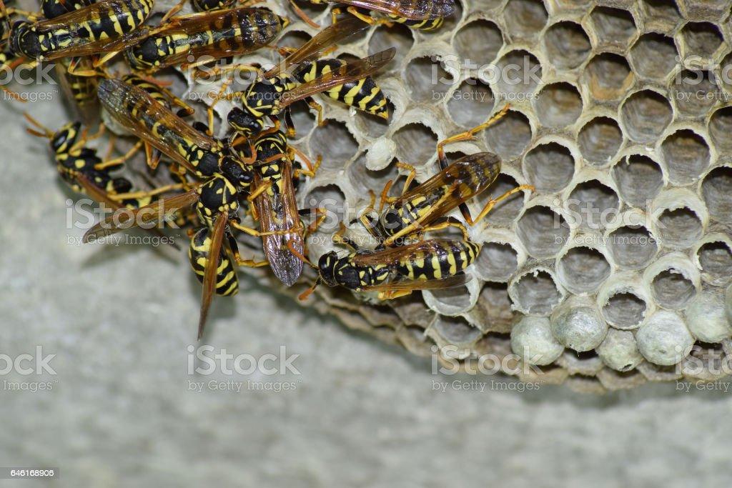 Avispa con avispas sentado en él. Polist avispas. El nido de una familia de avispas que se toma un primer plano - foto de stock