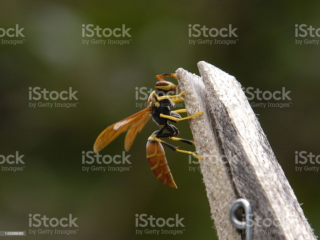 Wasp on a Clothes Peg stock photo