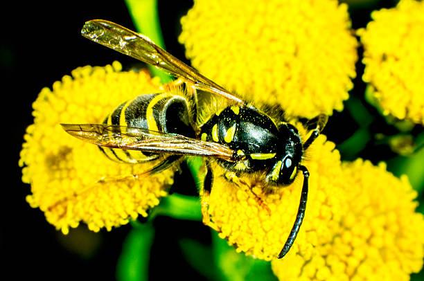 vespa em uma flor - vespa comum - fotografias e filmes do acervo