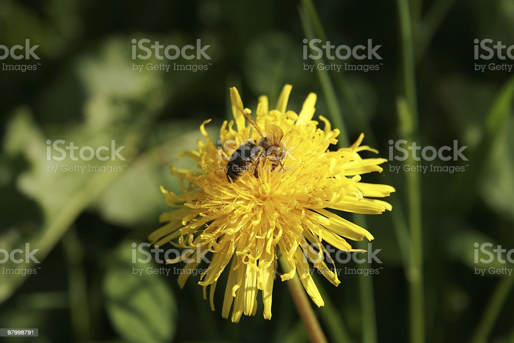 Wasp on a flower royalty free stockfoto