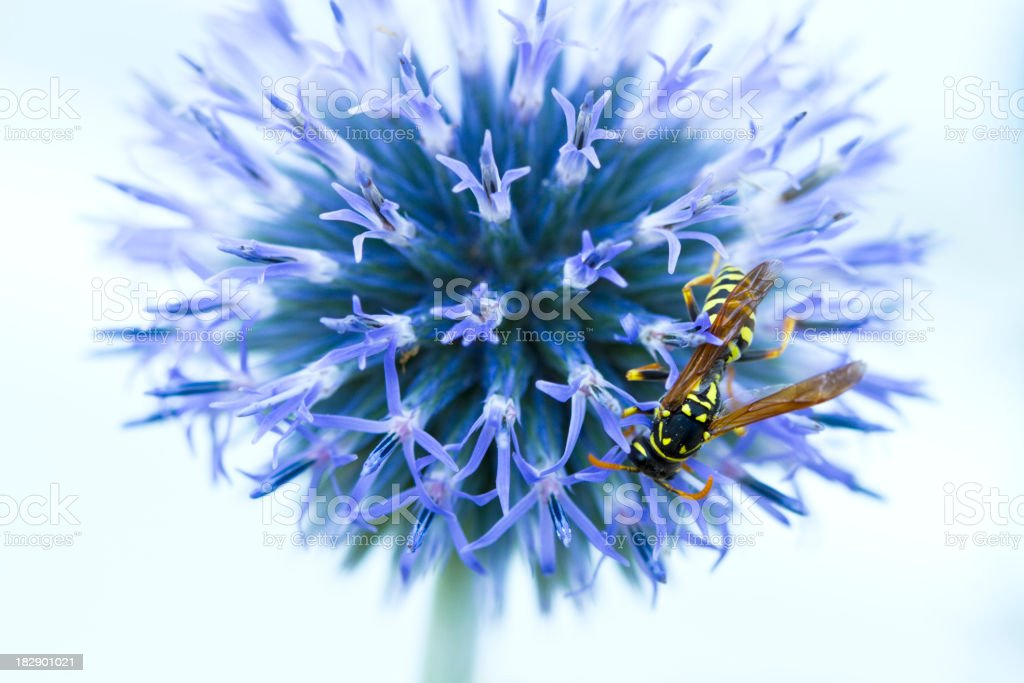 Wasp On A Globe Thistle royalty-free stock photo