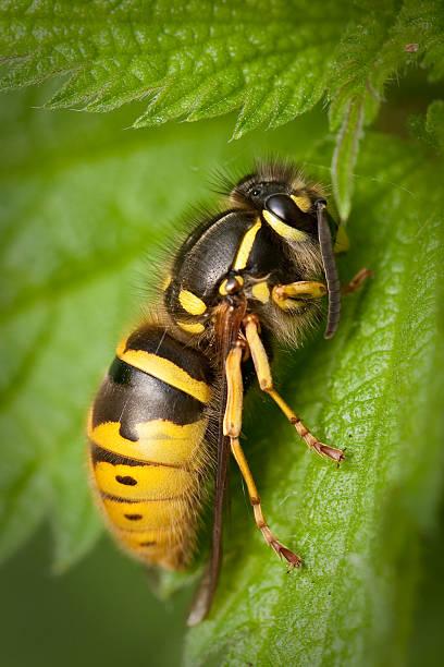 vespa em uma folha - vespa comum - fotografias e filmes do acervo