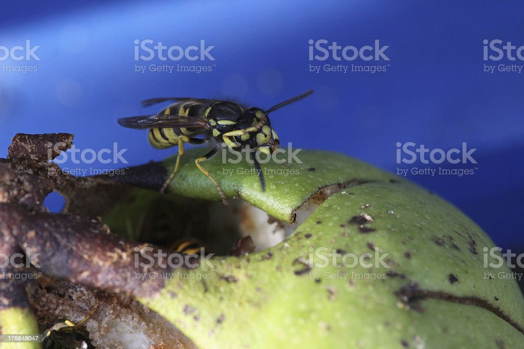 Wasp on a pear royalty-free stock photo