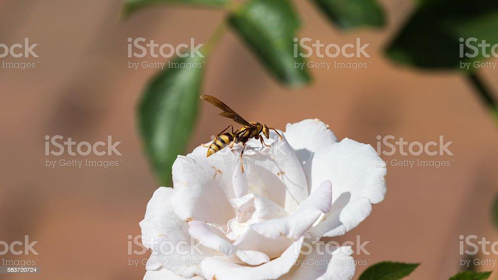 Wasp on a White Rose, Winter Park, Orlando, Florida stock photo