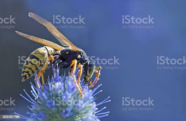 Wasp on banater thistle picture id503461790?b=1&k=6&m=503461790&s=612x612&h=mj5iu9fjckl91iz1bsm3q41kngdybxdrvnvnbflndiu=