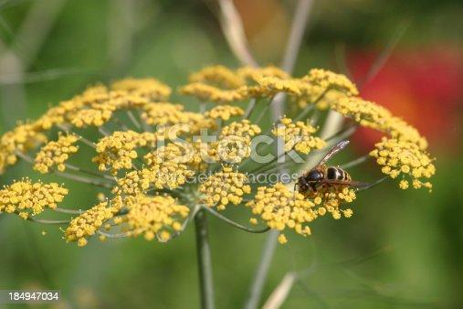 Yellow jacket on fennel flower
