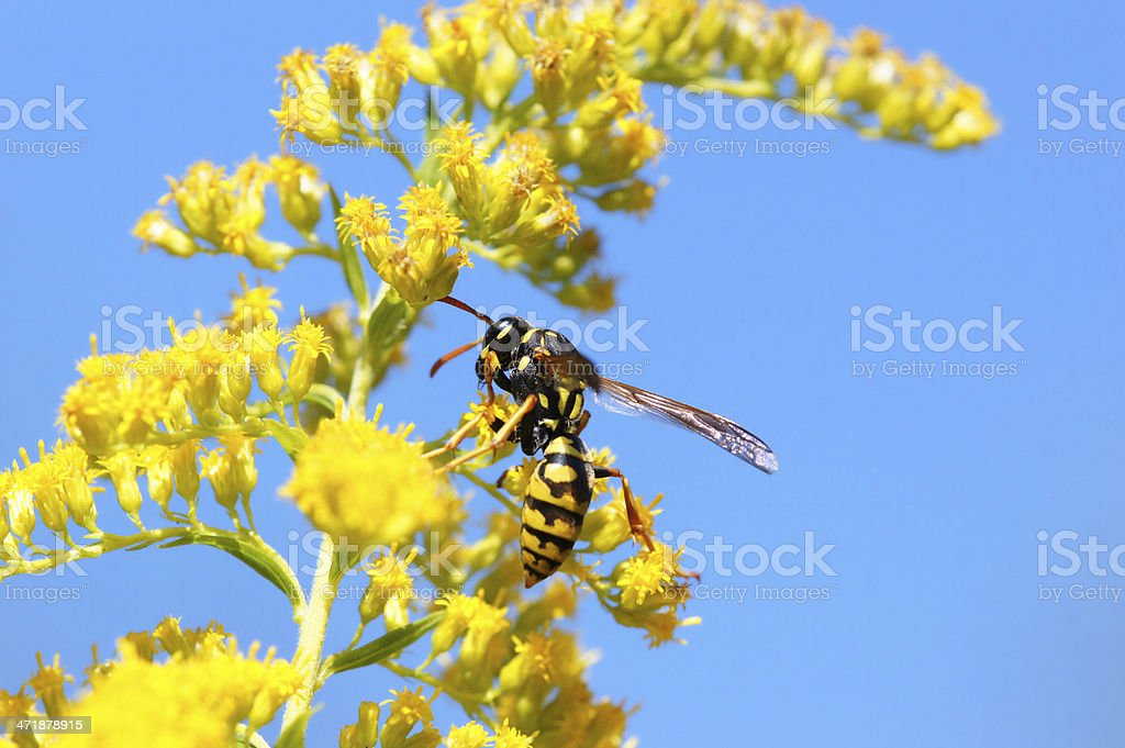 Wasp on golden rod royalty-free stock photo