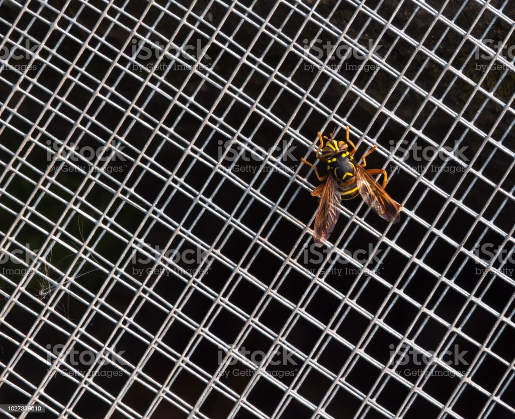 Wasp on grid. Hornet on a grid. Protection from insects - hornet, bee, wasp stock photo